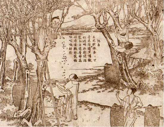 Legende over zijde - het winnen van de zijdecocons uit de moerbei bomen