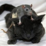 Kucing sayang tikus!