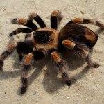 Tarantula, labah-labah gergasi dan kehidupannya