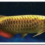 Jenis-jenis ikan kelisa dan kepercayaan orang china