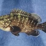 Ikan Kerapu dan potensi pasarannya di asia tenggara.
