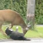 Rusa vs Kucing Vs Anjing (yang tak bersalah)