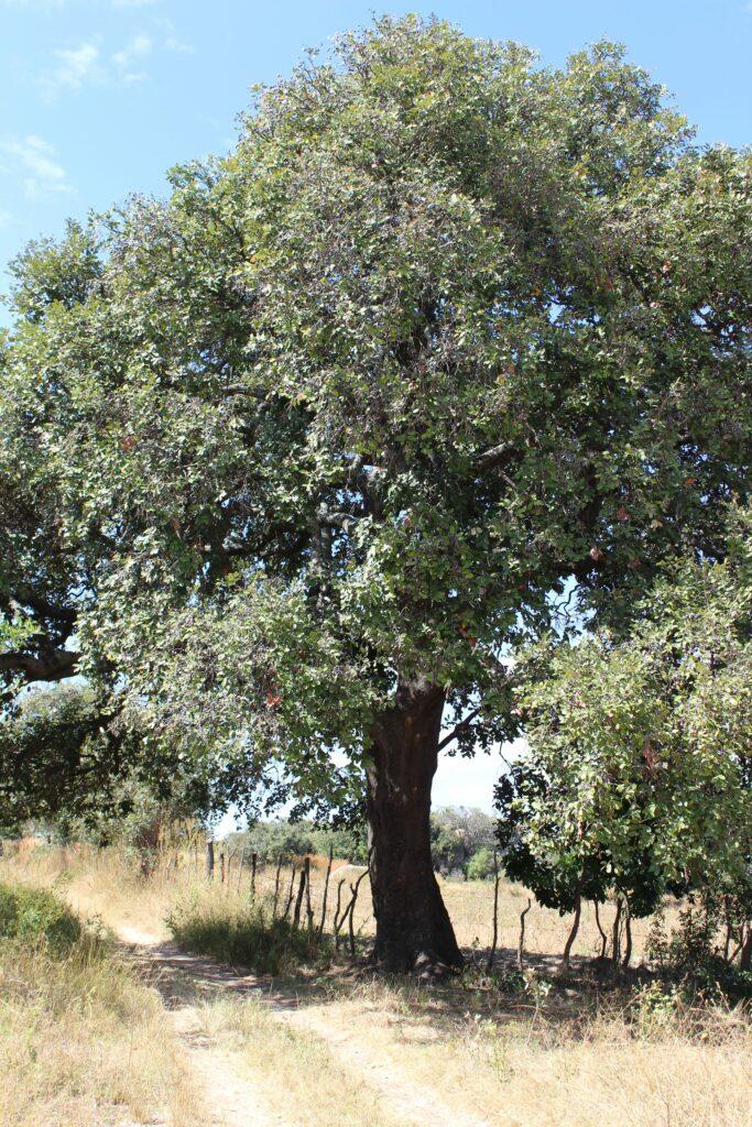 muhacha tree