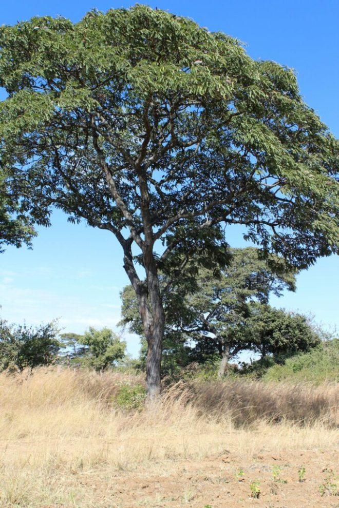 mupfuti tree