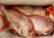 Fresh snapper, caught by the Big T. Photo: Su Leslie, 2013