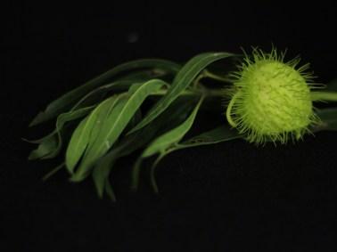 Milkweed seed pod. Image: Su Leslie, 2017
