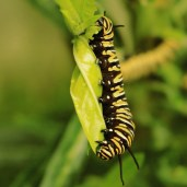 Monarch caterpillar. Image: Su Leslie, 2016