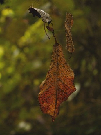 Leaves suspended in spider web, Mangaweka Dam walkway, Mangaweka, NZ. Image: Su Leslie