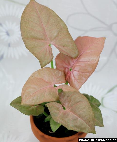 Purpurtute Syngonium podophyllum