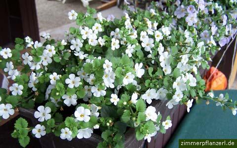 Schneeflockenblume Chaenostoma cordatum