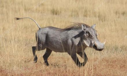 Man mistaken for a warthog, shot dead