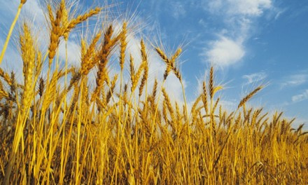 Local wheat suitable for bread: Baker