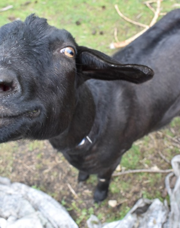 How To Save Your Herd from Goat Poison – Or Stop Them From Eating Any in the First Place