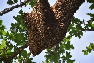 Bees Swarmed and Landed in the Tree