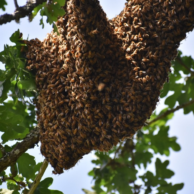 My Bees Swarmed! What I Did and What To Do