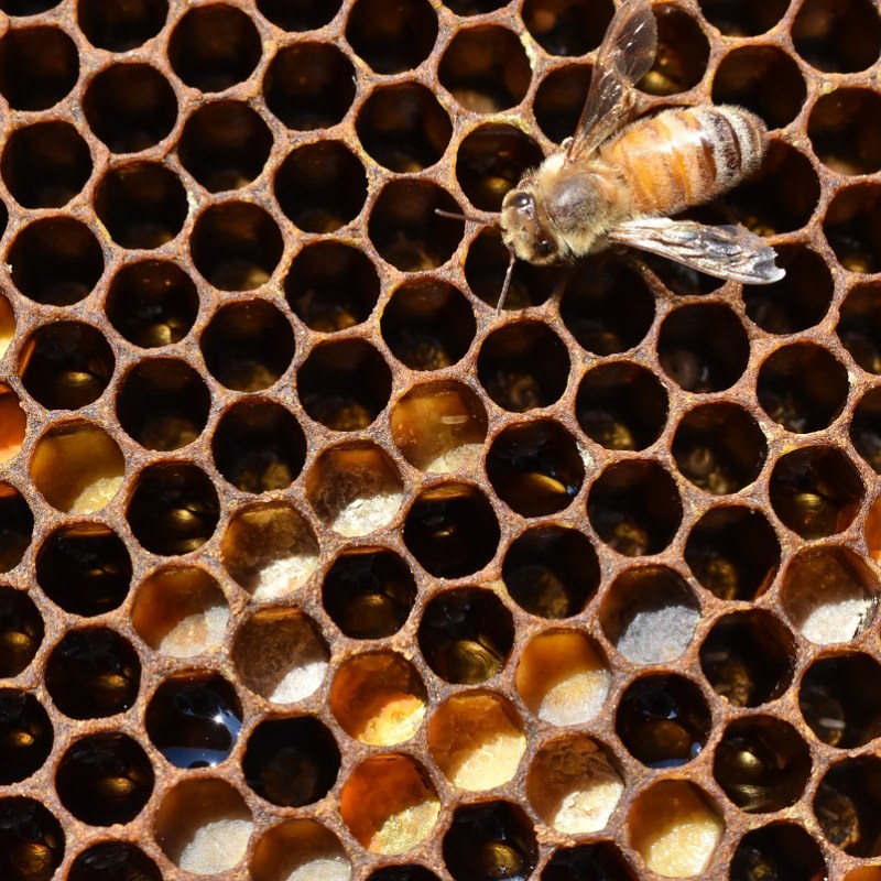 Laying Workers? Or a New Queen? How To Tell