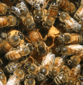 A Queen Bee, Not Laying Workers