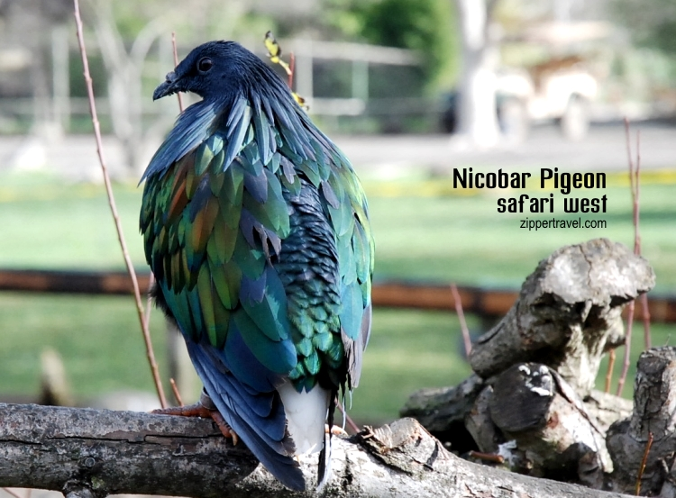 Nicobar pigeon Safari West