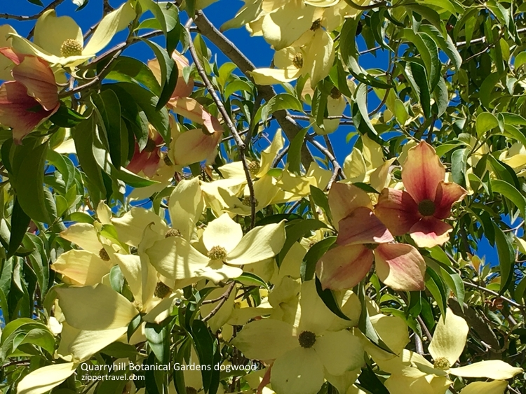 Quarryhill Gardens dogwood blooming Valley o the Moon Sonoma