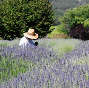 Matanzas Creek worker lavender fields