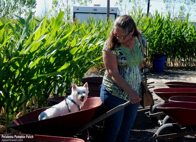 Petaluma Pumpkin Patch Westie alert wheelbarrow rider
