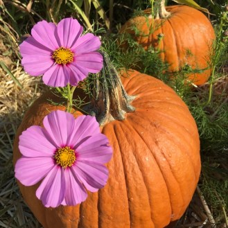pumpkins purple flowers Santly Lane pumpkin patch