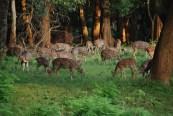 Deer sans Fear