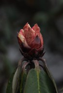 Rhododendron budding on a lonely mountain slope