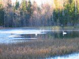 Ночные морозы быстро захватывают гладь воды. Через 2 дня птицы будут вынуждены улететь.