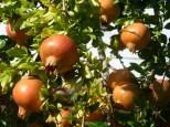 Bäume voller Granatäpfel