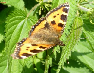 Schmetterling. beim ausruhen