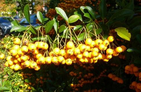Gelbe Eberesche man kann davon Marmelade machen.