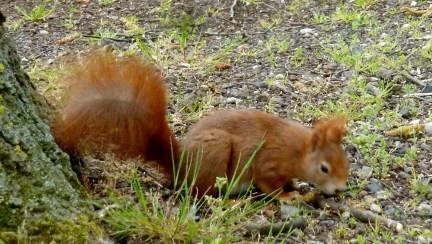 Ein süsses Eichhörnchen