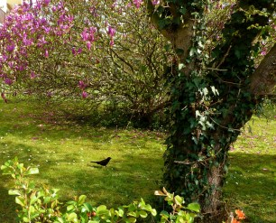 Garten mit Amsel