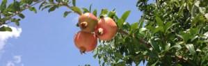 Granatäpfel Griechenland