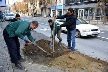 Обновен дрворед на булевар М.Т. Гологанов (1)