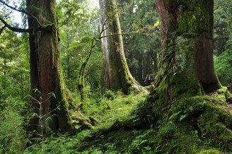prales cedry Taiwan Alishan