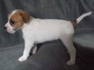 Nowe zdjęcia miotu K Parson Russell Terrierów