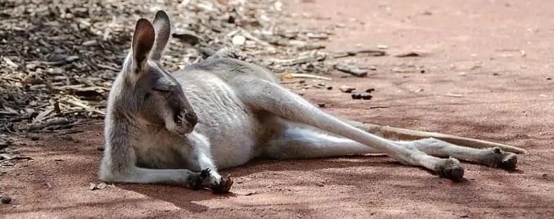 Smešne zgodbe o kenguruju