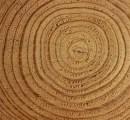 letnice v drevesnem deblu
