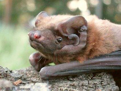 Greater noctule bat