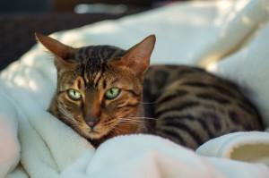Bengal Cat on Blanket