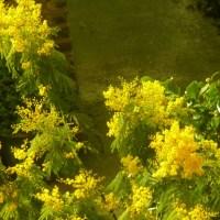 Złota Mimoza i Narcyzy Witają Wiosnę