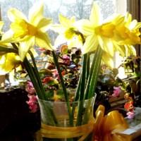 Żółte Żonkile Wieszczą Wczesną Wiosnę