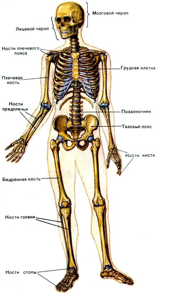 Анатомия скелет человека в картинках с описанием, тыва кыс