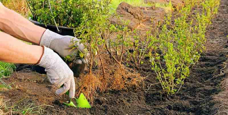 Дрен пестролистный размножение черенками осенью