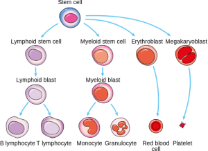 Producing new blood cells – why reading the recipe matters