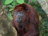 Red howler monkeys (aulladores, Alouatta seniculus)