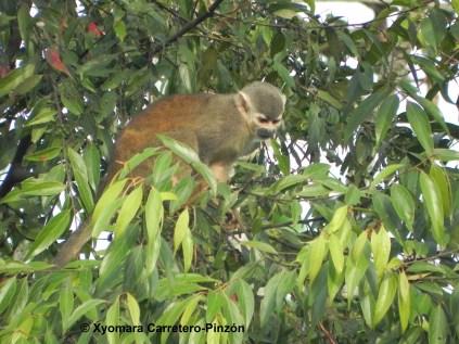 Saimiri cassiquiarensis albigena