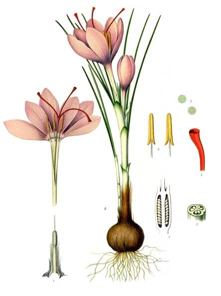 Crocus_sativus_-_Köhler–s_Medizinal-Pflanzen-194